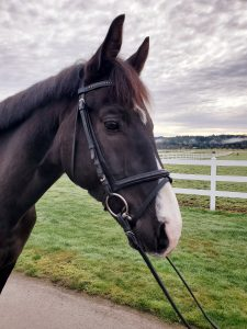 dressage horses for sale washington state