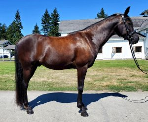 arabian horses for sale redmond wa