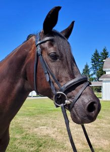 arab for sale horses in wa