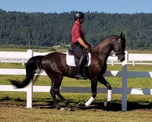 black arabian gelding for sale wa